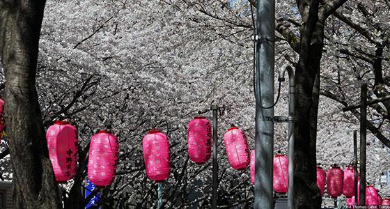 p1310827-nakano-dori-sakura-matsuri  Best design guides | Tokyo p1310827 nakano dori sakura matsuri